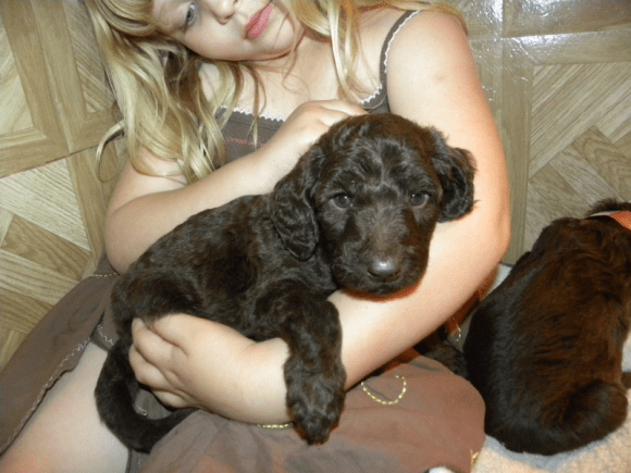 Olivia my daughter with Chocolate Labradoodle Puppy