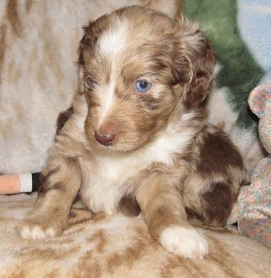 Purple Collar Female 5 wks Mini Aussiedoodle