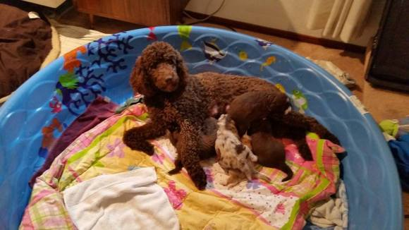 Rasta and Her Aussiedoodle Puppies in the Pool!