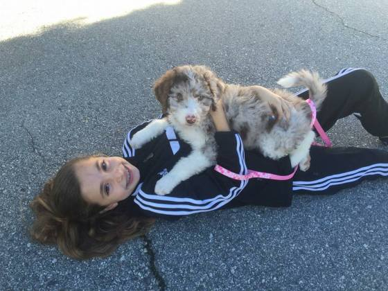 Available Merle Australian Labradoodle and Mini Aussiedoodle