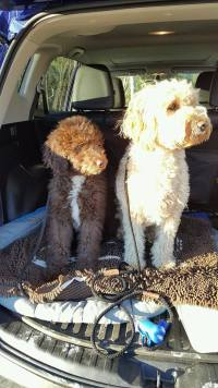 BREWSKI AND CHEWIE ON THEIR SOGGY DOGGY RUG IN THE CAR
