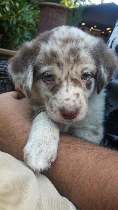 Aussiedoodle Dogs For Sale
