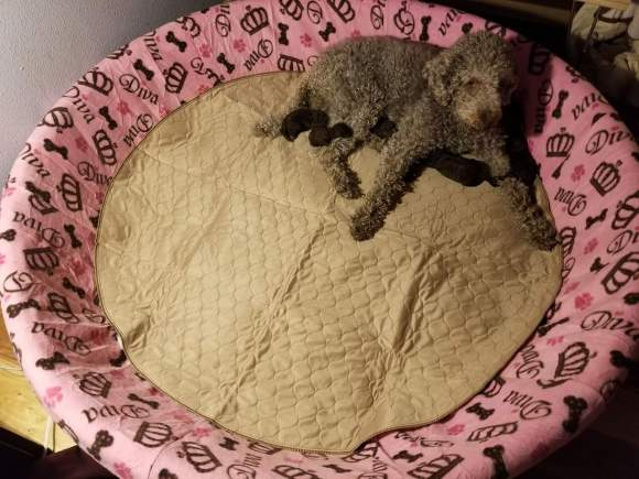 One of my Labradoodle Dams in the large size Whelping Pool with Handmade Whelping Pool Cover and EZWhelp Whelping Pool Pad