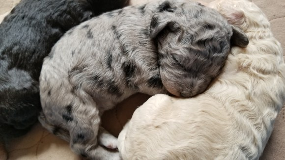 Multigen Labradoodle - Pele's Blue Merle Female Puppy