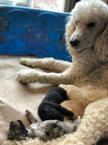 whelping pad in whelping pool with mama Pele and her Labradoodle puppies