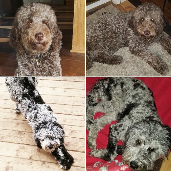 Parents: Bella and Apollo - Multigen Labradoodles