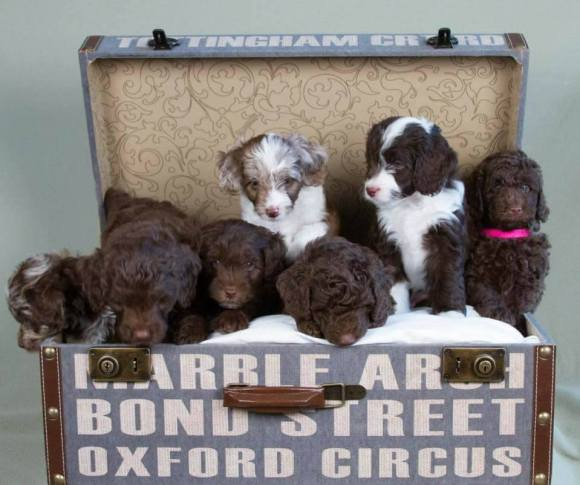 F1B MINI AUSSIEDOODLE LITTER FROM MYA AND GEORGIE 2017