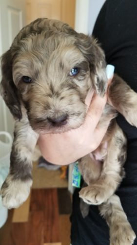 Chocolate Merle Male from Tippy's Litter