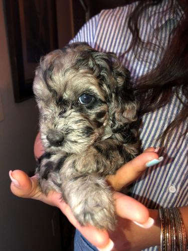 Blue Merle Female Multigen Australian Labradoodle - from Bella