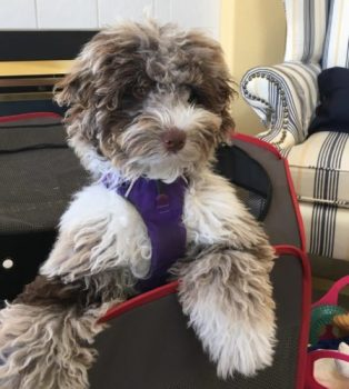 Dreamydoodles F1B Mini Aussiedoodle Puppy - Chocolate Merle