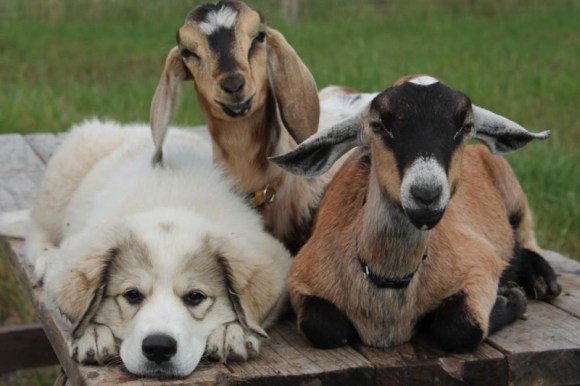Dogs and Goat Dewormer
