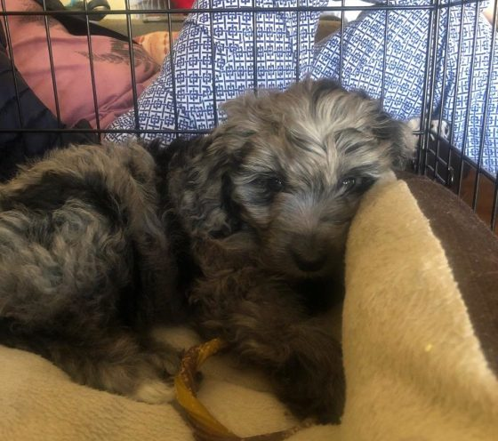8 WK OLD - MINI AUSSIEDOODLE PUPPY SLEEPING IN HER CRATE