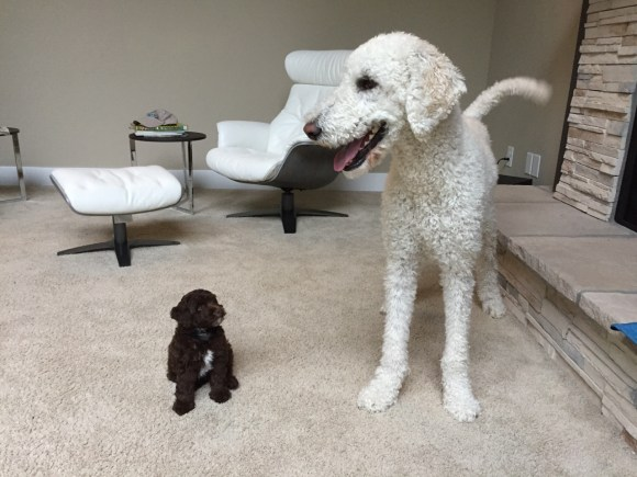 NEW MINI AUSSIEDOODLE AND HIS BIG LABRADOODLE HOUSEMATE