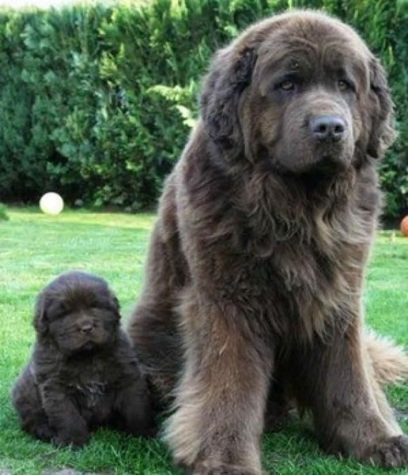 Newfoundland Mom and Puppy - Safeguard for Goats Dosage Chart and Large Breed Dogs