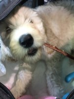 "Cream Labradoodle Puppy ""Mia"" in her Carry-on Crate chewing on a with Beef Gullet Stick!"