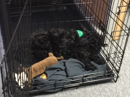 Crate training with a divider - Midwest Crates - Labradoodle Puppies