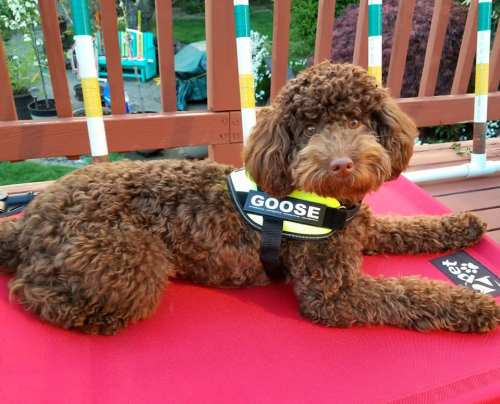 Goose Chocolate Mini Aussiedoodle from Mya and Georgie