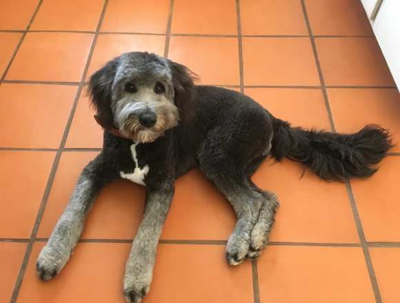 Gus - Blue Aussie Labradoodle Mix Adult
