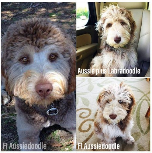 Aussiedoodles and Aussiedoodle + Labradoodle Mix Dogs