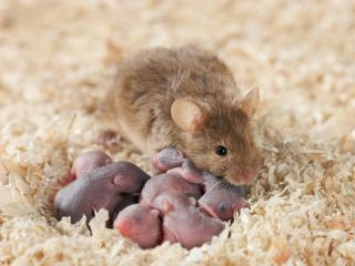 Mama Mouse and her babies