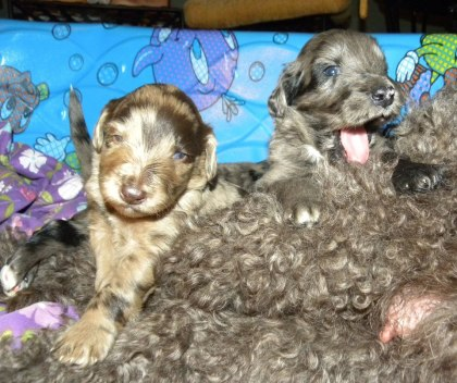 F1 Aussiedoodle Puppies - Red and Blue Merle Puppies 2013