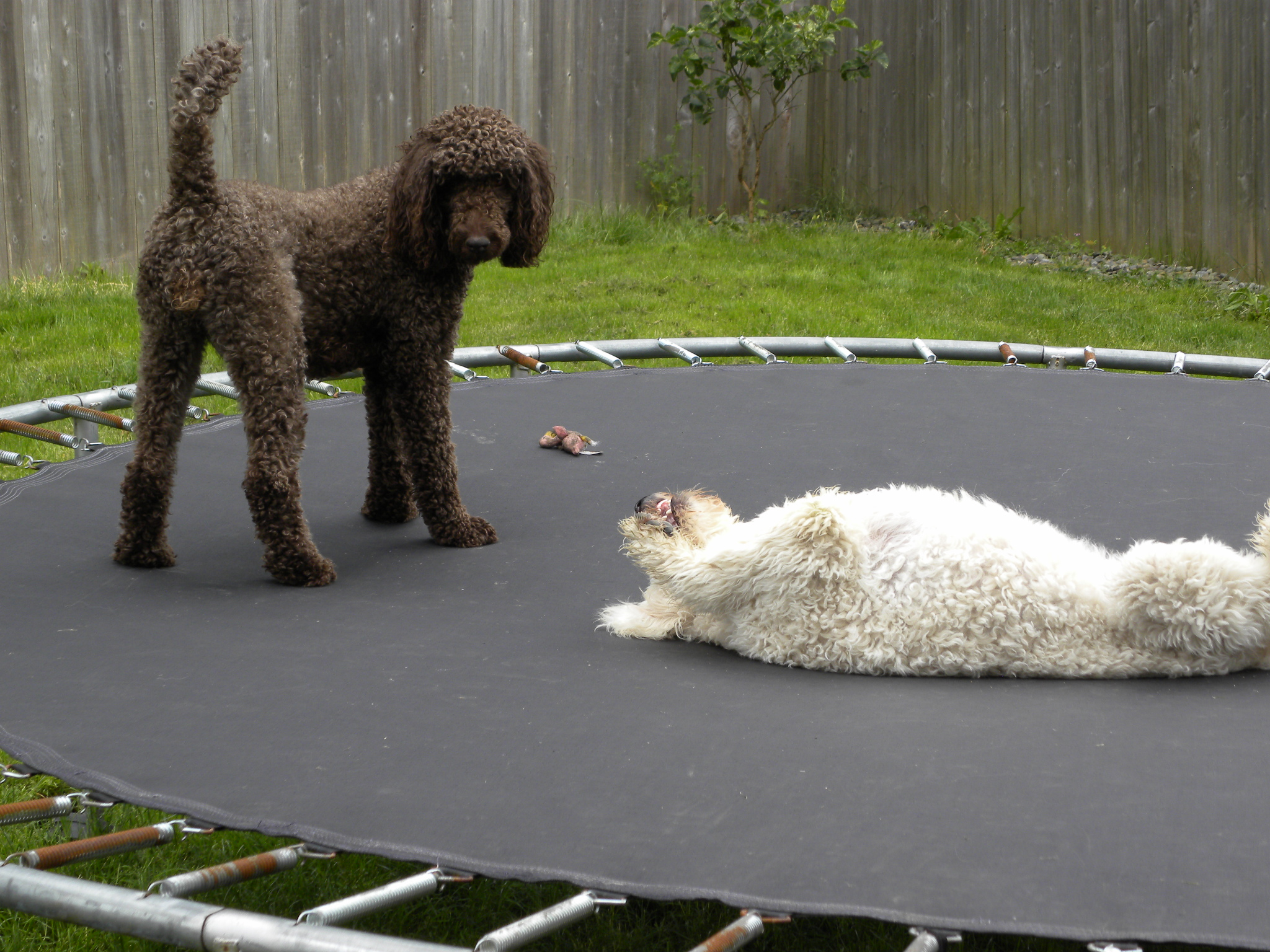 The Doodle Do Instructions For Groomers Aussiedoodle And Labradoodle Puppies Best