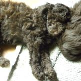 Green Ribbon Boy - F1b Labradoodle