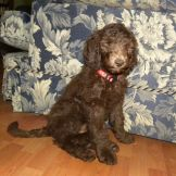 Red Girl - F1B Labradoodle - Dreamydoodles.com