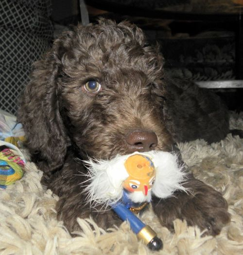 Snoozy and Bibbles Available Male Labradoodle Puppies