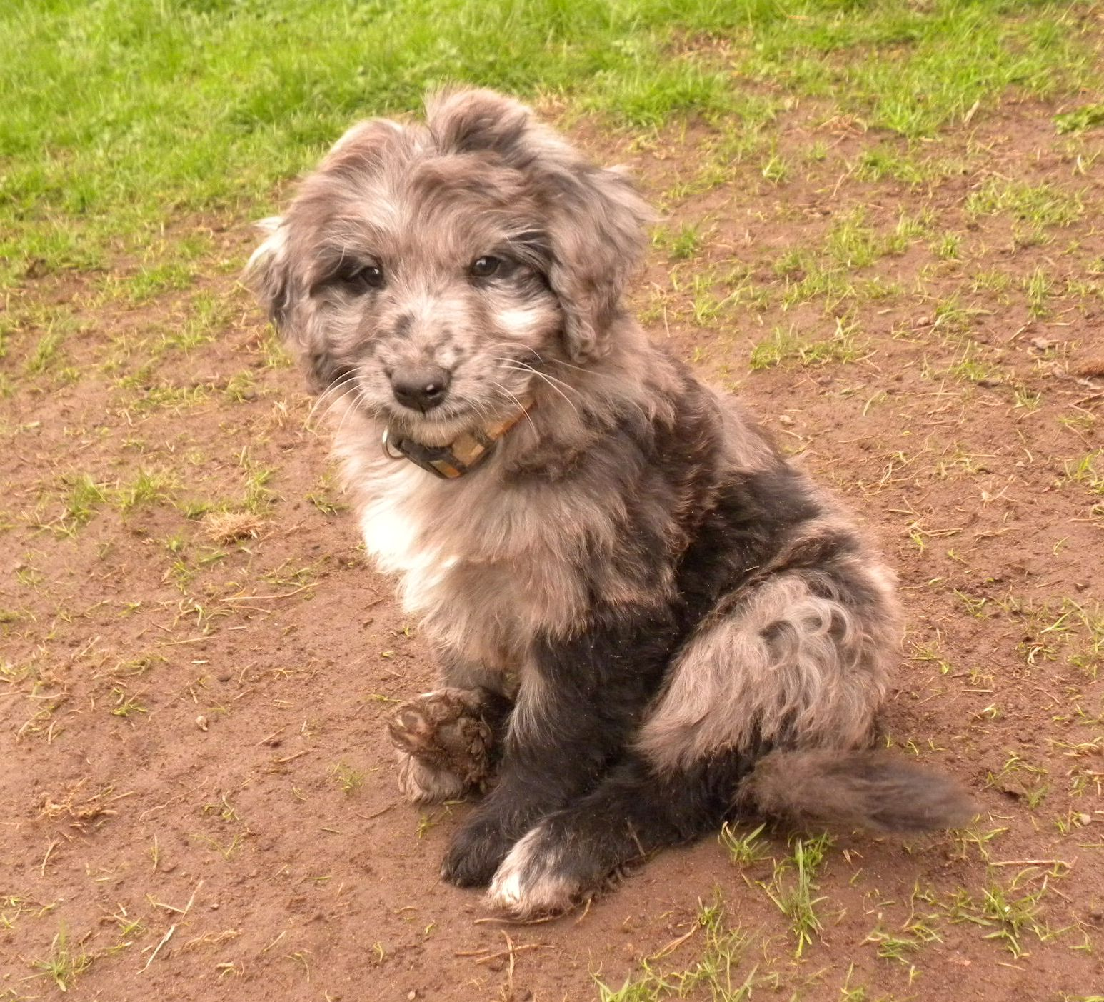 The Merle Coat Color Explained- Aussiedoodle and Labradoodle Puppies
