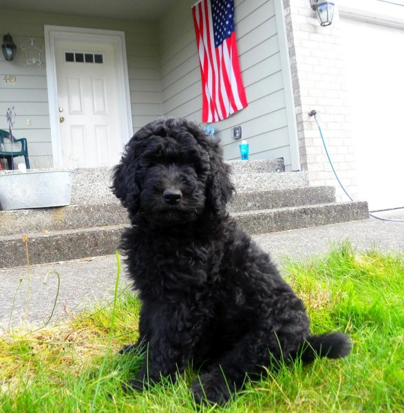 Black F1b Goldendoodle Female - 2011