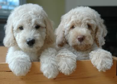 Labradoodle Puppies - Brown and Black Noses