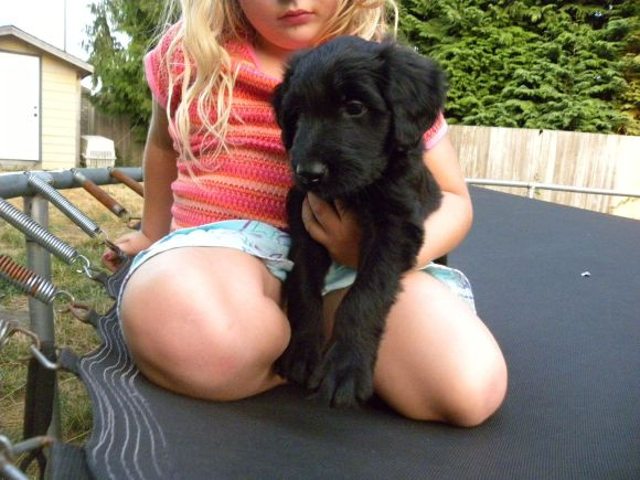 Black Male F1 Aussiedoodle - Knuckles and Olivia on the Trampoline