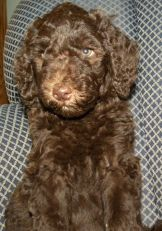 Pink Girl - 7 wks F1b Labradoodle - Available