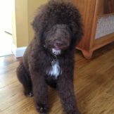Maybelle - Multigen Labradoodle from Tippy and Hershey
