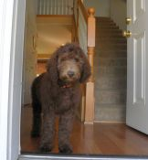 Red Girl - F1B Labradoodle Puppy - Dreamydoodles.com
