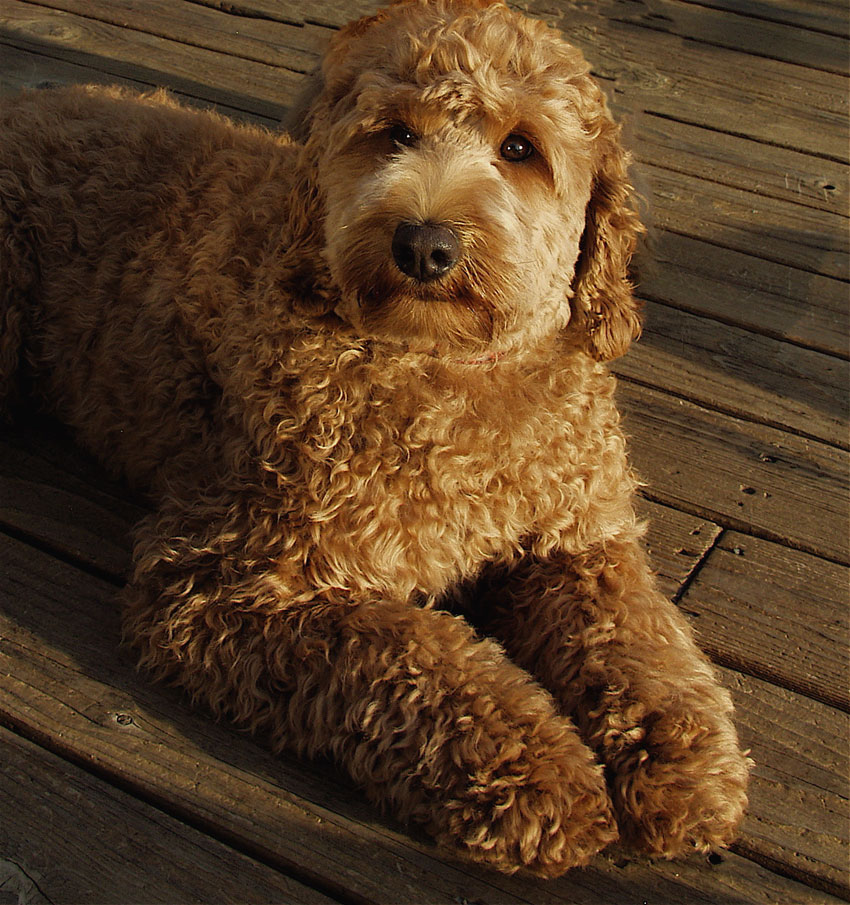 What is the difference between the Australian Labradoodle ... | 850 x 905 jpeg 198kB