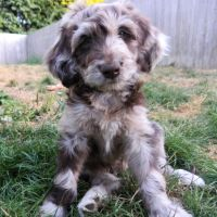 F1 Aussiedoodle Female