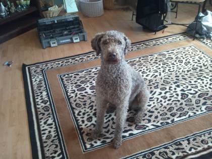 Tippy Rose - Labradoodle in her summer cut..