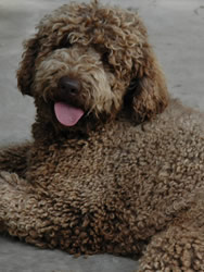 Labradoodle Breed Standard Aussiedoodle And Labradoodle