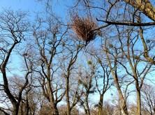 Misteln auf Bäumen