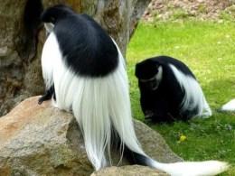 Affe mit viel Fell