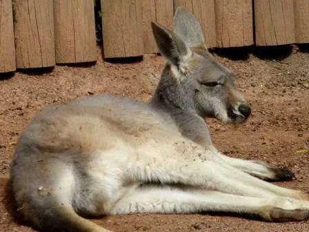 Känguru beim Mittagschlaf