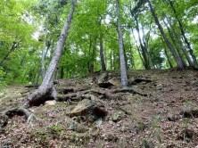 Bäume mit großen Wurzeln im Wald