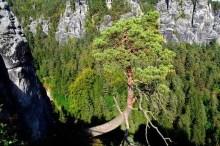 Ausflugsziel Bastei und Felsenburg Neurathen in der Sächsischen Schweiz Baum am Felsen