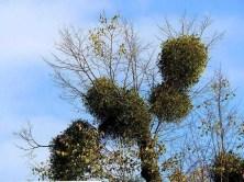 Baum mit Misteln