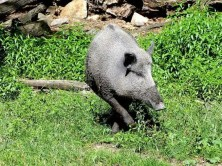 Wildschwein allein