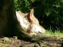 Wolf im Wildgehege Moritzburg