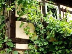 Kletterpflanze am Fachwerkhaus