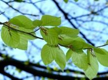 Blätter Ast Bäume Schloss Pillnitz